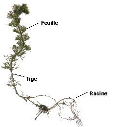 plante aquatique d'etang