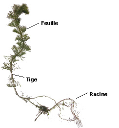 plante aquatique des etangs