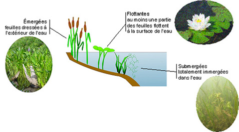 exemple de tige aquatique